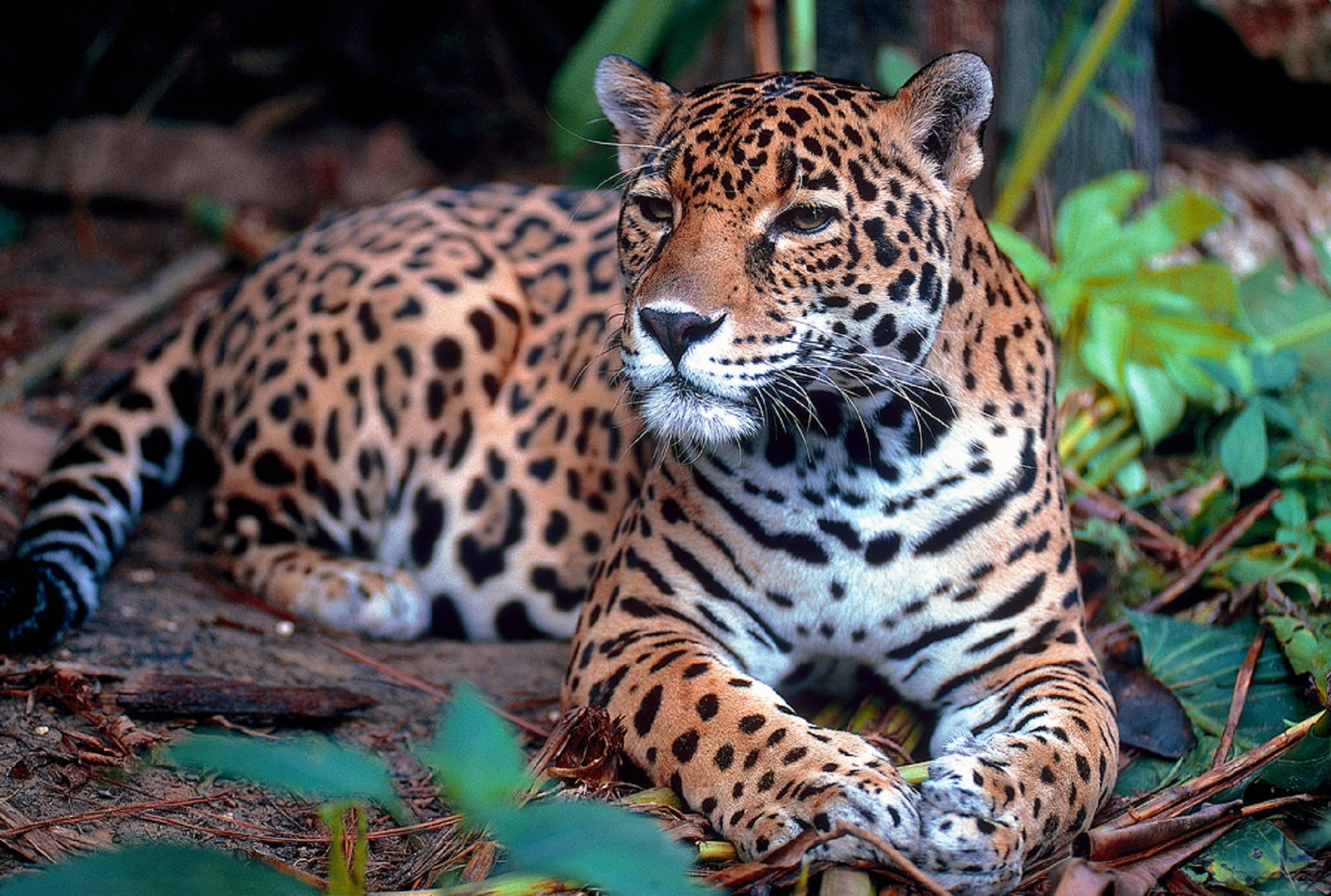 Gruntify Helping To Protect Jaguars In The Amazon